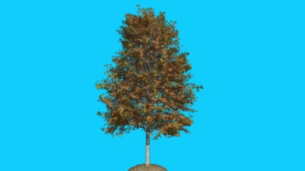 Shingle Oak Tree is Swaying at The Wind Yellow Tree Leaves Are Fluttering Crown in Fall Computer Generated Animation Made in Studio