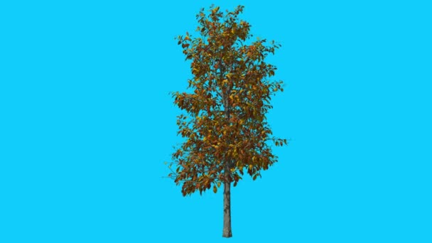 Sourwood Tree is Swaying at The Wind Yellow Tree Leaves Are Fluttering Crown in Fall Computer Generated Animation Made in Studio