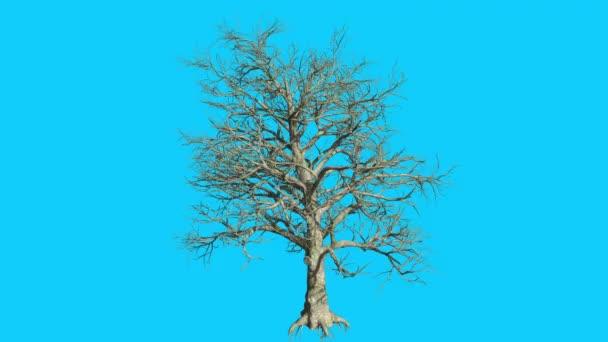 Jižní magnolie strom je Swaying v The Wind ne opustí větve se kýval v zimě pádu počítačem generované animace provedené v Studio