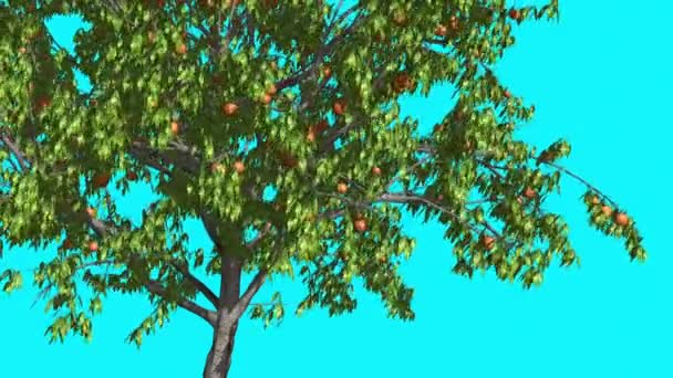 Peach Thin Tree with Fruits is Swaying at The Wind Green Tree Leaves Are Fluttering Crown in Summer Computer Generated Animation Made in Studio