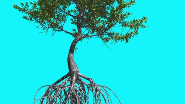 Red Mangrove Trunk And Roots Tree is Swaying Windy Green Tree Leaves Are Fluttering Crown in Summer Computer Generated Animation Made in Studio