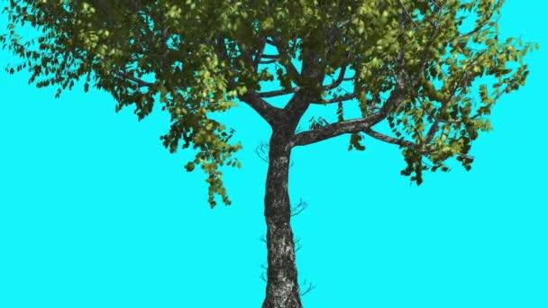 Red Oak kmen stromu je Swaying v The Wind Zelený strom listy jsou vlající koruny v létě počítačem generované animace provedené v Studio
