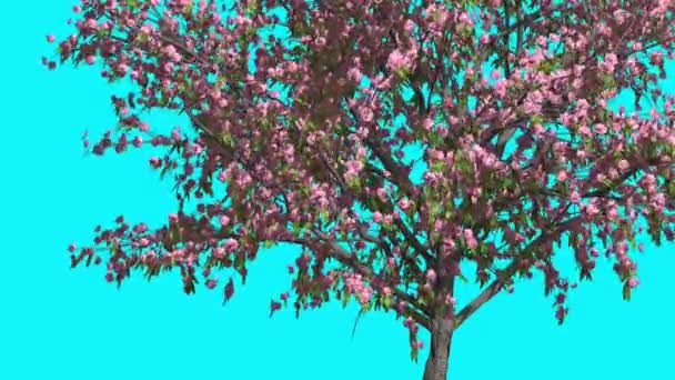 Peach Pink Flowers Thin Tree is Swaying at The Wind Green Tree Leaves Are Fluttering Crown in Spring Computer Generated Animation Made in Studio