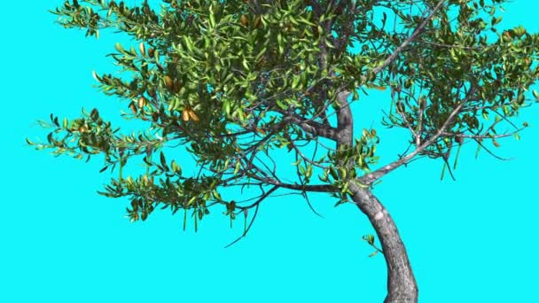 Red Mangrove Thin Tree is Swaying at The Wind Green Tree Leaves Are Fluttering Crown in Summer Computer Generated Animation Made in Studio