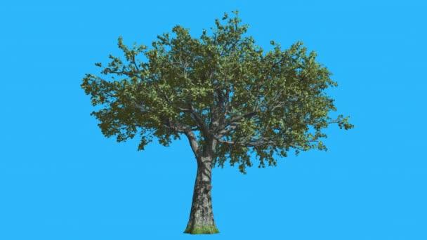 Dub bílý je Swaying v The Wind Zelený strom listy jsou vlající koruny v létě počítačem generované animace provedené v Studio