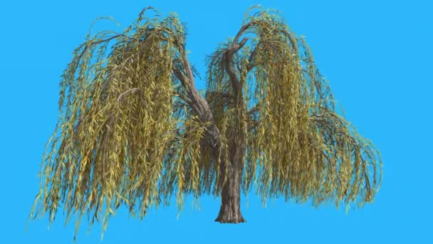 Weeping Willow Hanging Long Branches Tree is Swaying at The Wind Yellow Tree Leaves Are Fluttering Crown in Fall Computer Generated Animation Studio