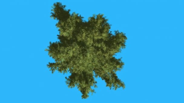 Alaska Cedar Crown Top Down Evergreen Tree is Swaying at The Wind Green Scale-Leaves Are Fluttering Crown in Summer Fall Computer Generated Animation