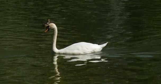 Schwanensee weiße Vögel Schwäne und gesprenkelte Enten Vögel treiben durch die Wasservögel füttern plätscherndes Wasser sonniger Tag im Sommer Panorama