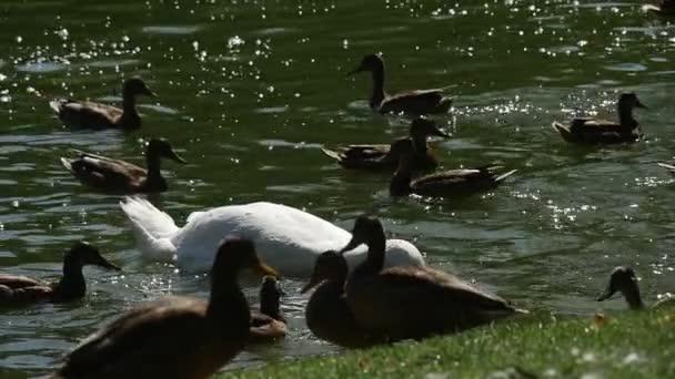 Skupina ptáků White Swan a divoké skvrnitý kachny kachny divoké jsou plovoucích Labutí jezero ptáci jsou krmení kachen potápění jsou procházky v Green Bank Sunny