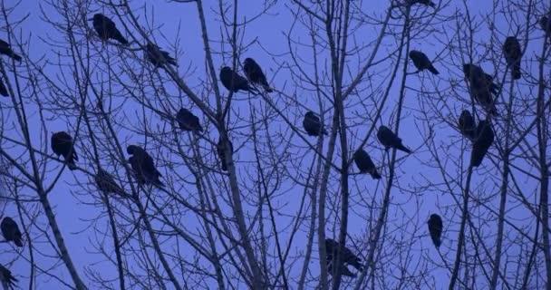 Ptáci siluety úzké se hejno z kosi Ravens vrány ptáci sedí na vrcholu stromové ptáky jsou Preening peří mávání křídel soumraku