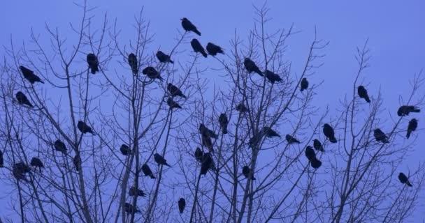 Ptáci siluety hejno z kosi Ravens vrány ptáci sedí na vrcholu keř nebo strom ptáků na holých větvích jsou Preening peří soumraku