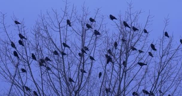 Hejno ptáků siluety ptáků vrány, havrani kosi sedí na vrcholu stromové ptáky odstartovat holé větve Fly, nebo sedět na jiné pobočce