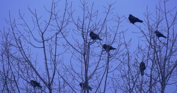 Hejno ptáků siluety ptáků vrány, havrani kosi sedí na vrcholu keř nebo strom, několik ptáků odstartovat holé větve Fly Away soumraku