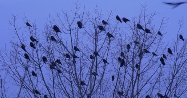 Ptáci siluety kosi havrani vrány ptáci sedící na vrcholu keř nebo strom málo ptáků odstartovat kymácející holé větve a letět pryč soumraku