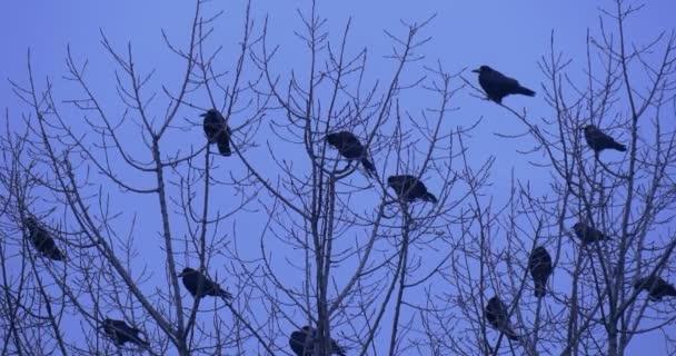 Ptáci siluety kosi havrani vrány sedící na vrcholu Bush strom, větve, které několik ptáků odstartovat holé větve včelím pryč soumraku