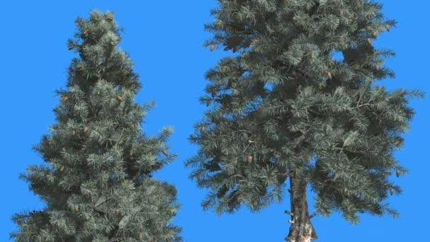 Modrý smrk dva stromy s modrou obrazovkou Everzelený strom se houpá na větru zelená a modrá jehlové listy se třese v létě nebo v zimě