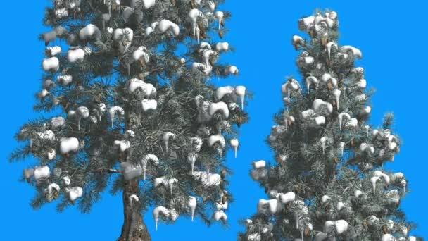 Modrý smrk dva stromy sníh na větvích zanechává modrou obrazovku Everzelený strom se houpá na větru zelená a modrá jehlové lístky zima