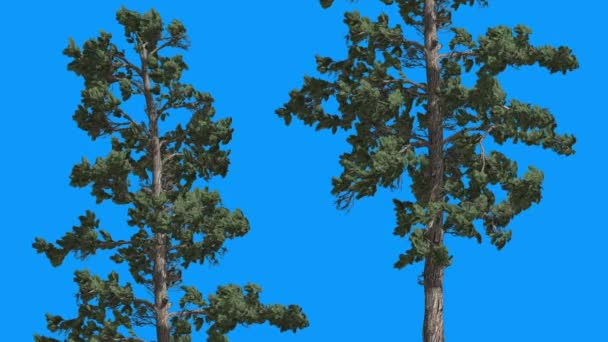 Eastern White Pine Two Evergreen Thin Trees Green Leaves on Blue Screen Tree is Swaying on the Wind Green Needle-Like Leaves at Daytime in Winter Summer