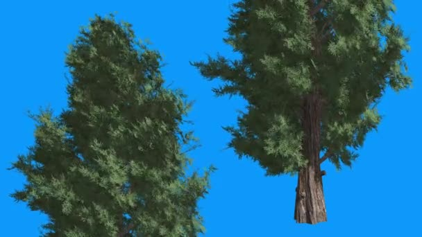 Eastern Red Cedar Coniferous Two Trees Green Leaves Blue Screen Evergreen Tree is Swaying on the Wind Green Scaled Leaves at Daytime Winter Summer