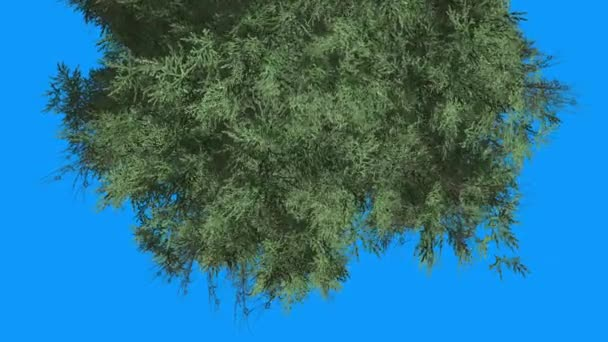 Eastern Red Cedar Coniferous Top of Tree Top Down Green Leaves on Blue Screen Evergreen Tree è ondeggiante sulle foglie in scala di vento in estate dinverno
