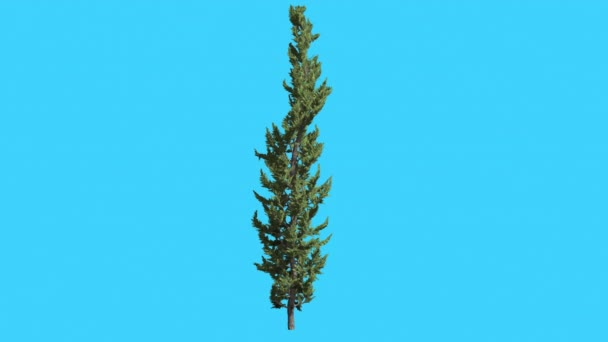 Hollywood Juniper Thin Trunk Tree Coniferous Evergreen Shrub is Swaying at the Wind Small Tree Scale-Like Leaves Vivid Green Foliage Needles