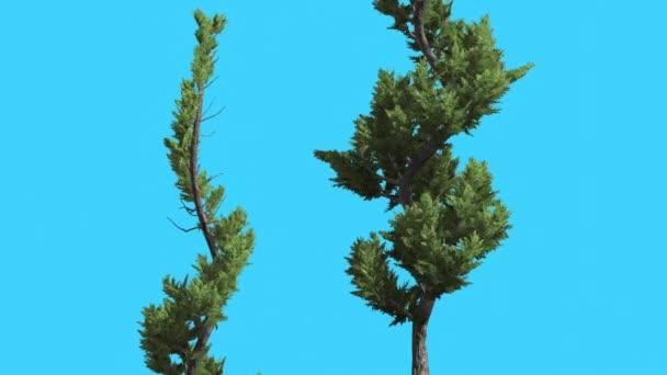 Hollywood Boróka két ívelt fák tűlevelű Örökzöld cserjék is Swaying: a szél kis fa Scale-Like levelek élénk zöld lomb tűk