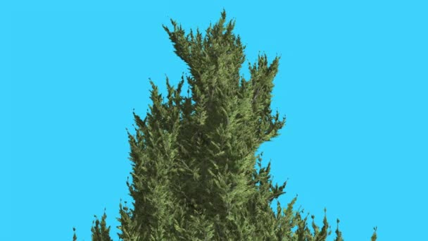 Hollywood Juniper Top of Tree Coniferous Evergreen Shrub is Swaying a Little at the Wind Small Tree Scale-Like Leaves Vivid Green Foliage Needles