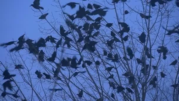 Ptačí siluety kosi vrány jsou létání se z holé větve Bush větve se kymácející mávání jejich křídla zpomalené létat se podzimní večer
