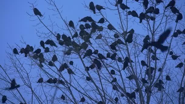 Ptačí siluety A spousta ptáků kosi vrány sedí na holé větve keře mávání jejich křídla zpomalené Fly se podzimní večer