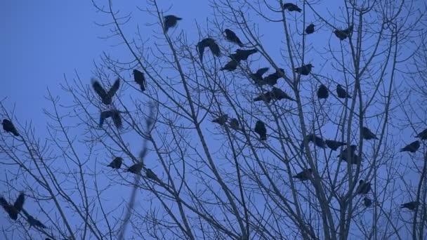 Několika ptačí siluety kosi vrány sedící na holé větve Bush větve se kymácející mávání jejich křídla zpomalené létat se podzimní večer