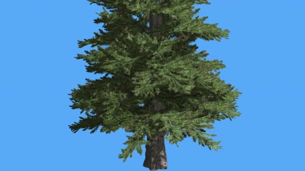 Norway Spruce Picea Abies Trunk Branches Sunny Day Coniferous Evergreen Tree is Swaying at The Wind Green Needle-Like Leaves Tree in Windy Day
