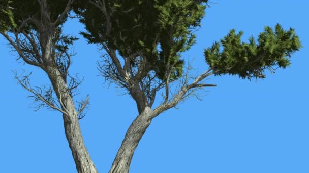 Doubled Trunk Of Monterey Cypress Small Tree Coniferous Evergreen Tree is Swaying at The Wind Green Needle-Like Leaves Tree in Windy Day