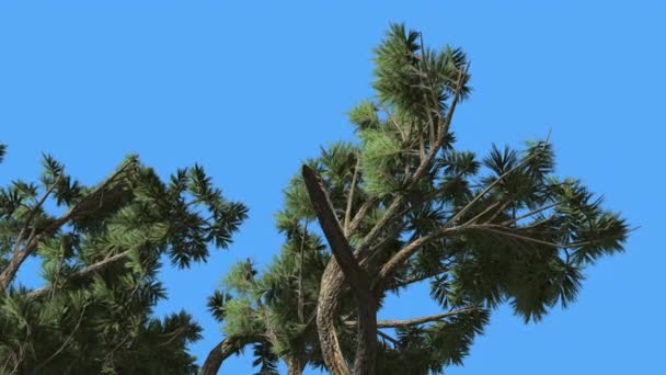 Jeffrey Pine Pinus Jeffreyi Top of Branches Coniferous Evergreen Tree is Swaying at The Wind Green Needle-Like Glaucous Gray-Green Leaves Windy Day
