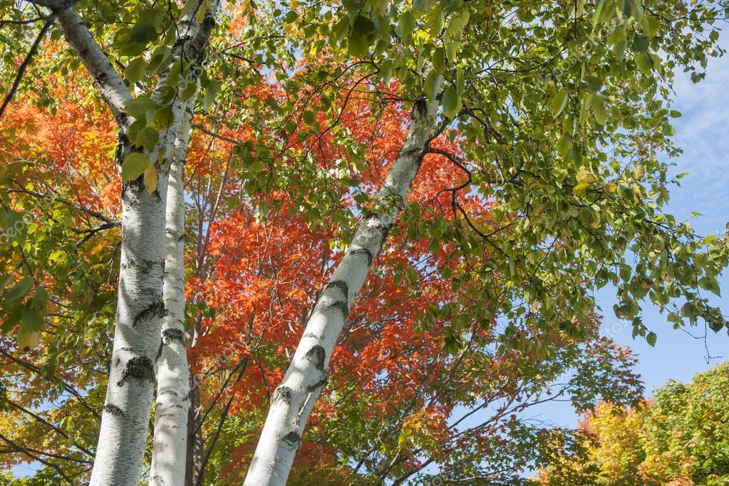 White bark of silver birch reaching into the tree top and bright colors of fall foliage.
