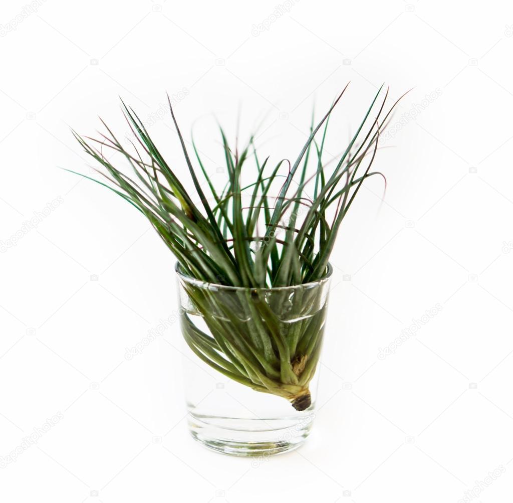 Tillandsia pianta dell 39 aria su una pentola di acqua su un for Tillandsia prezzo
