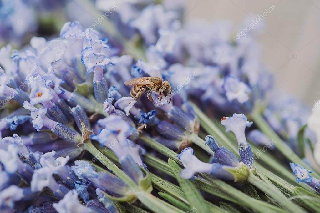 beautiful purple lavender flowers  and a bee