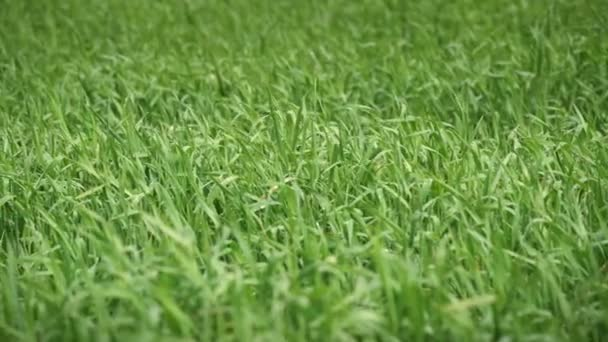 Wind Moving The Green Grass Close Up