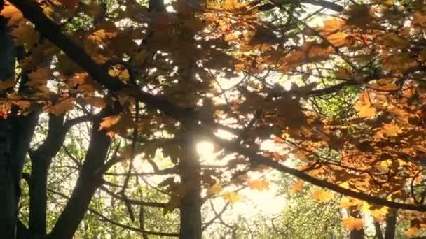 Slunce svítí skrz oranžový Maple listy