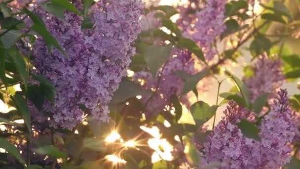 Západ slunce slunce svítí skrz fialovými květy