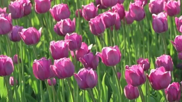 A mező a szél kissé ringató lila tulipán