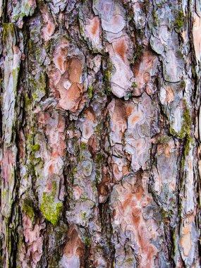 Pine bark texture detail natural
