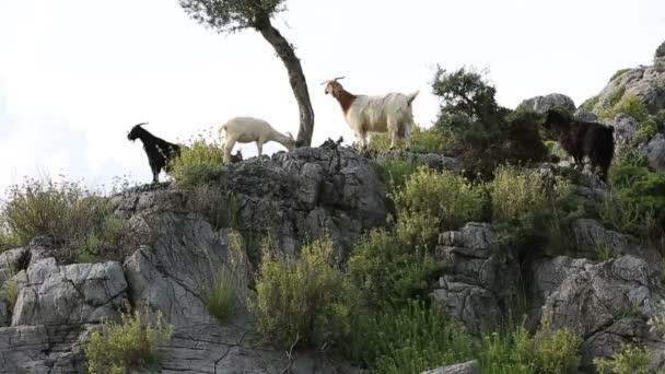 horská koza v přírodě 3