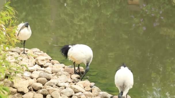 Ibis posvátný (Threskiornis aethiopicus) poblíž vody