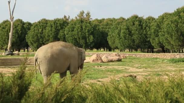 Nagy afrikai elefánt