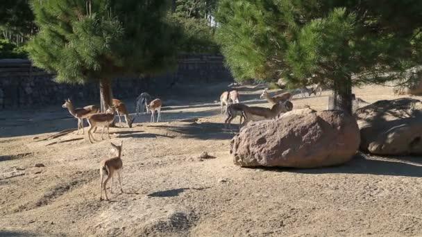 A csorda gazella, etetés