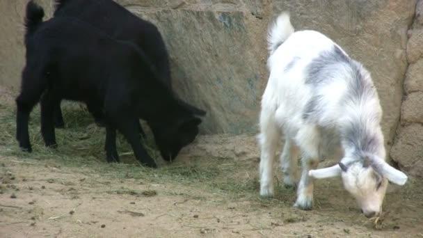 krmení koz