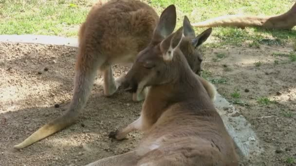 Nyugodt két kenguru