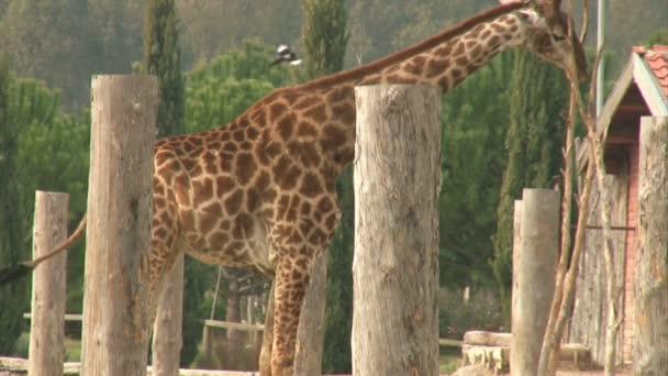 Etetés a zsiráf