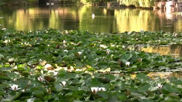 nejkrásnější jezero s lekníny a kachny