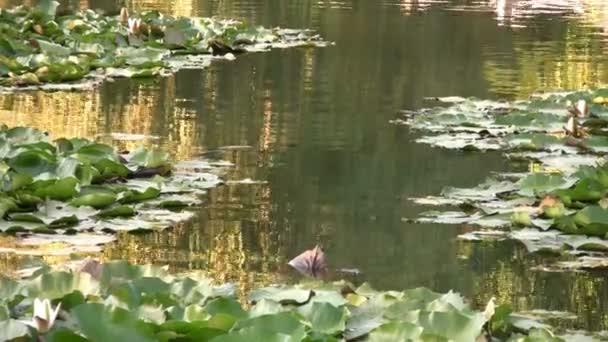 nejkrásnější jezero s lekníny